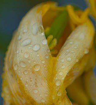 Yellow Flower in the Rain by Sarah Crites