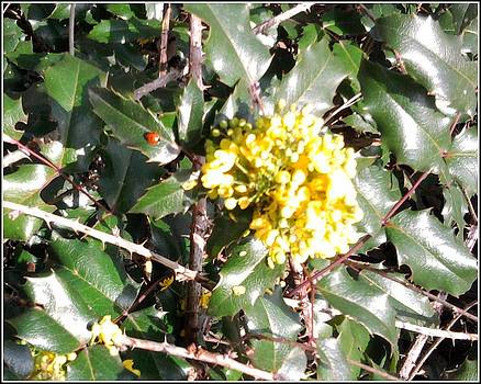 Yellow flower on Holly by Geoff Cooper