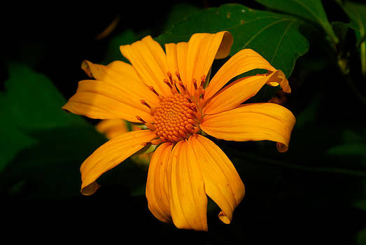 Yellow Flower by Saju S