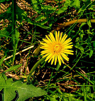 Yellow flower with green leafs  by Tibor Co