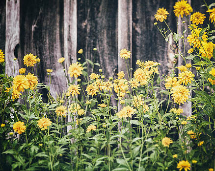 Lisa Russo - Yellow Flowers against a Rustic Grey Barn