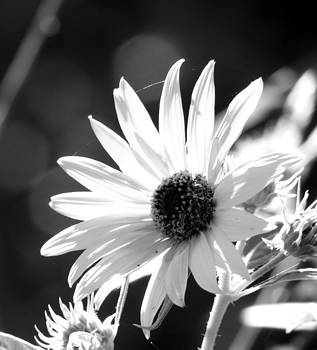 Yellow Flowers - BW by Don Barnes