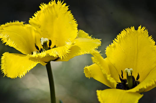 Flowers-Texas-Lilies-Yellow Lilies by Matthew Miller