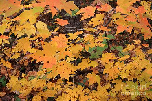 Michael Mooney - Yellow Foliage