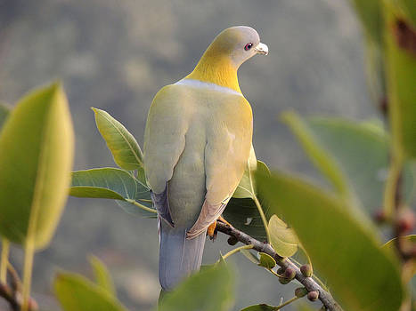 Yellow footed green pigeon on the top of a tree by Ramesh Chand