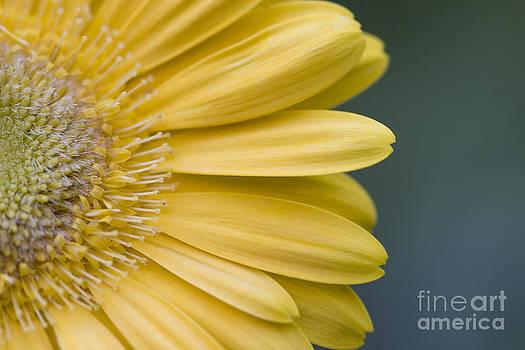 Jill Lang - Yellow Gerber Daisy
