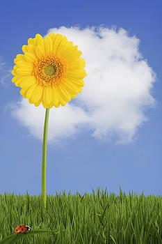 Yellow Gerbera Daisy by Gillian Dernie