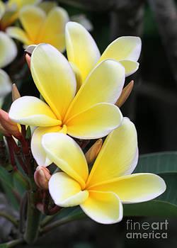 Sabrina L Ryan - Yellow Hawaiian Plumeria Flowers
