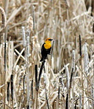 Connie Zarn - Yellow Headed Blackbird