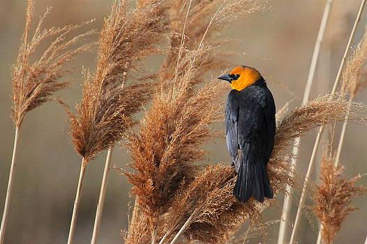 Yellow-headed Blackbird by Paul Marto