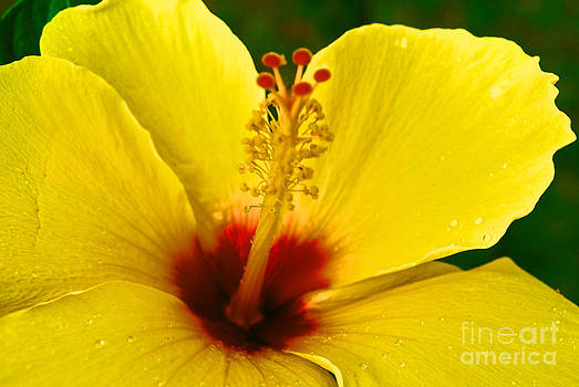 Yellow Hibiscus at Shafter by Lisa Cortez
