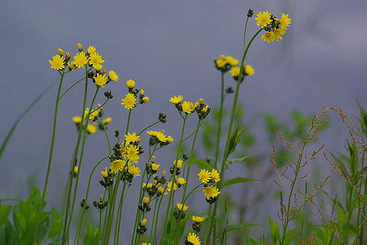 Yellow in early summer by Lindy Whiton