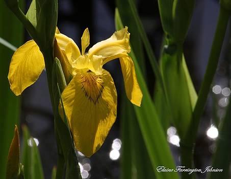 Yellow Iris by Elaine Farrington Johnson