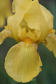 Yellow Iris by Heather Reeder
