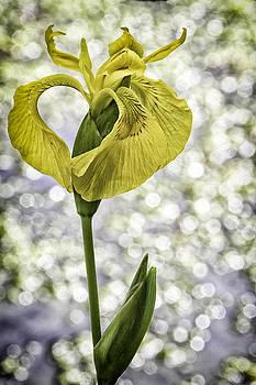 Yellow Iris by Jeanne Hoadley