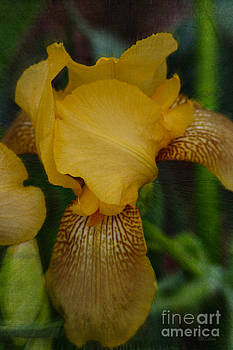 Yellow Iris Textured by Amanda Collins