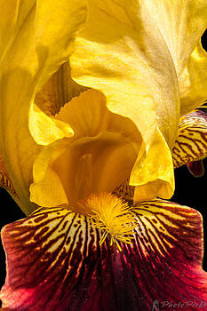 Yellow Iris by Tom Pickering of Photopicks Photography and Art