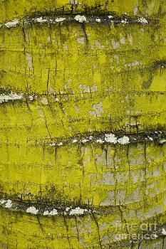 Charmian Vistaunet - Yellow Lichen on Palm Trunk