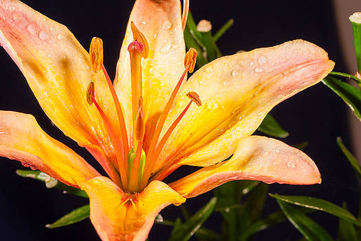 Yellow Lilly by Simon Conisbee