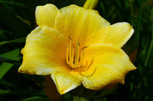 Yellow Lily 2 by Sandi OReilly