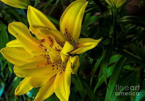 Alexander Butler - Yellow Lily