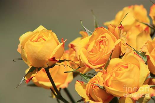 Yellow Mini Rose's closeup by Robert D  Brozek