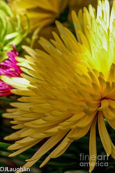 Yellow Mum Rays by DJ Laughlin
