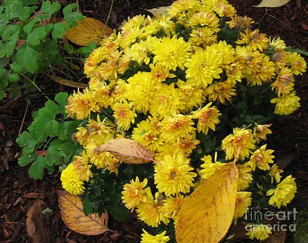 Ellen Miffitt - Yellow Mums in the Fall Garden