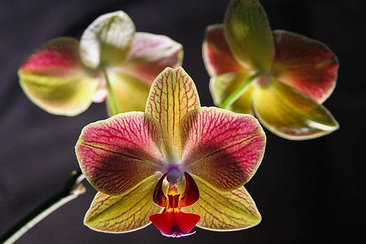 Yellow Orchid by Brad Fuller