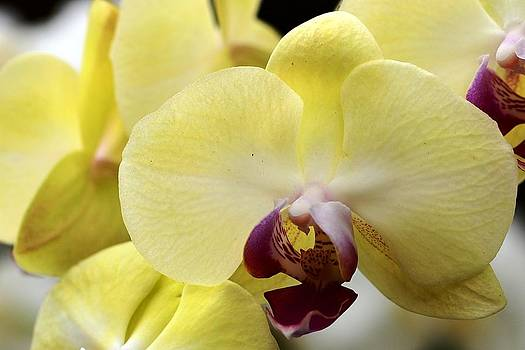 Yellow Orchids by Silvie Gunawan