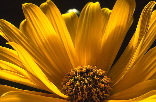 Yellow Petals by Henrique Souto