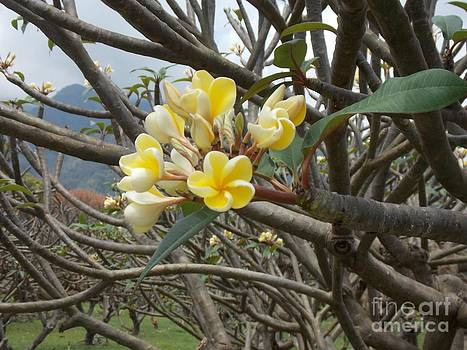 Yellow Plumeria  by Mindy Sue Werth