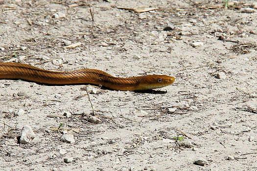 Doris Potter - Yellow Rat Snake close up