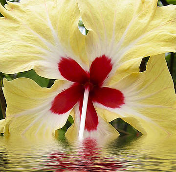 Kurt Van Wagner - Yellow Red Hibiscus in water