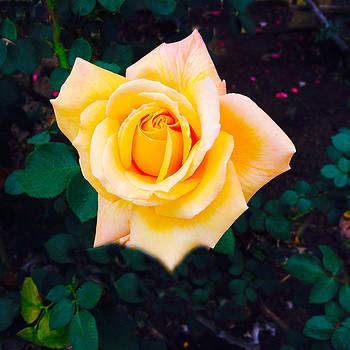 Yellow Rose by Barry Shereshevsky