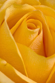 Yellow Rose by Bob Noble