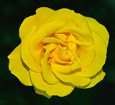 yellow rose but not of Texas by Baato