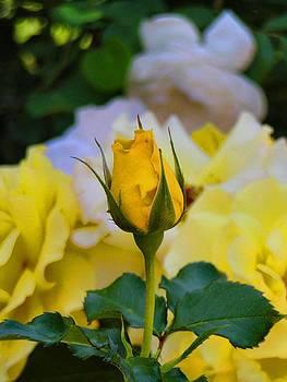 Yellow Rose by Dana Carroll