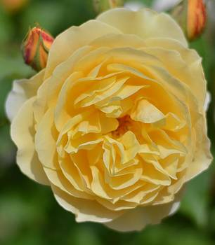 Yellow Rose by Emelyn McKitrick
