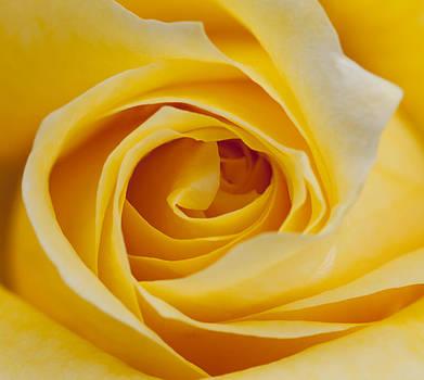 Yellow Rose by Gillian Dernie