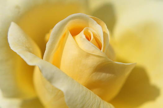 Yellow Rose by Judd Connor
