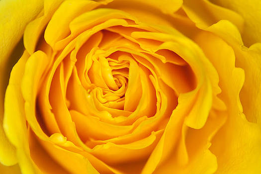 Yellow Rose  by Mark Weaver