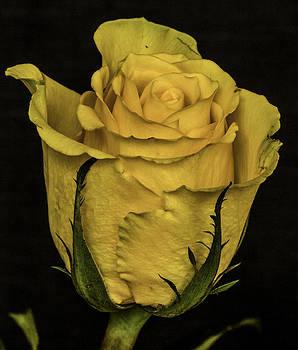 Bonnie Davidson - Yellow Rose of Texas