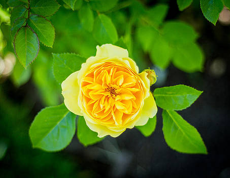 Yellow Rose by Rick Colby