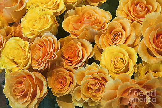 Yellow roses by Vladimir Sidoropolev