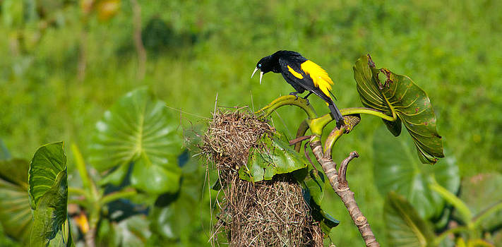 Yellow-rumped Cacique at his Nest by Cascade Colors