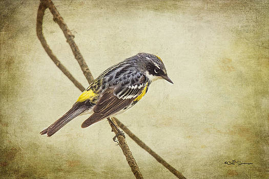 Yellow-rumped Warbler 2 by Jeff Swanson