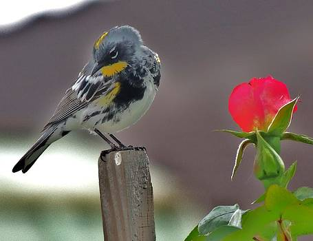 Yellow rumped warbler by Helen Carson