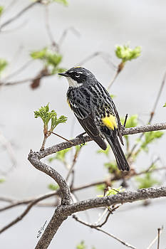 Yellow-rumped Warbler by Jeff Swanson