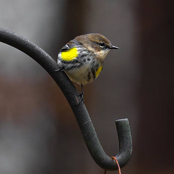 Yellow-Rumped-Warbler by Robert L Jackson